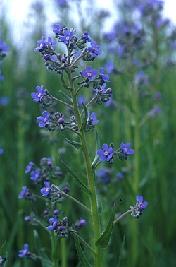 Anchusa Barrelieri