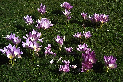 Crocuses brighten Turkish woodlands