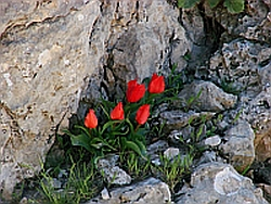 wild tulips 250px Botanical Tours