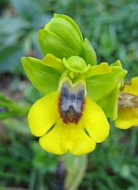 Wild Yellow Orchid