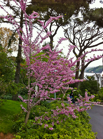 Cercis siliquastrum, Judas-tree above the Bosphorus